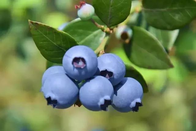 把好吃的蓝莓带回家……广东18个蓝莓园开放,深圳也有采摘园哦!
