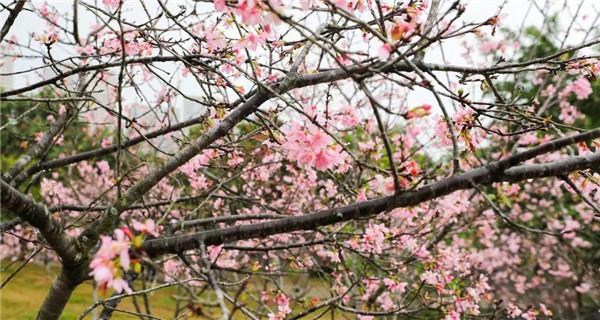 三月踏春好时节,聚龙山樱花谷已花漫人间