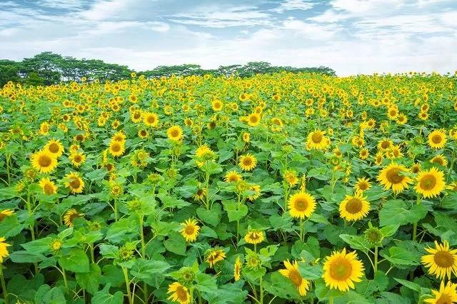 500亩向日葵花海将现光明小镇,快来承包最美的夏天!